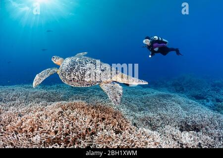 Diver observes Green turtle (Chelonia mydas) on reef top,Acropora stony coral (Acropora spinosa) Pacific, Sulu Lake, Tubbataha Reef National Marine - Stock Photo