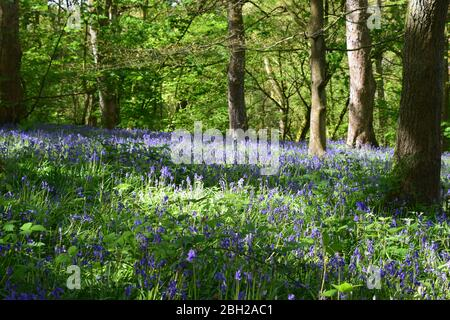 Sankey Valley Linear Park, SSSI Designated area St Helens .Merseyside. Part of the Mersey Forest. - Stock Photo
