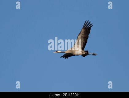 Germany, Common crane(Grusgrus)flying against clear blue sky - Stock Photo