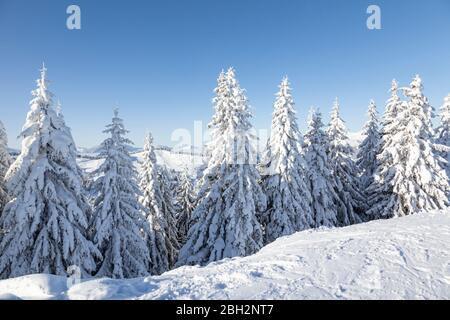 Fir trees covered in thick, fresh snow in Les Gets, France. - Stock Photo
