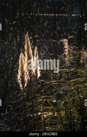 Pampas Grass Cortaderia selloana flowers inflorescences backlit by evening light. - Stock Photo