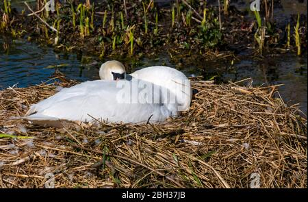 East Lothian, Scotland, United Kingdom, 23rd April 220. UK Weather: A pair of mute swans have nested in this small artificial reservoir for several years and successfully raised young. Despite cygnets appearing already in the South of the UK, these eggs are not due to hatch until around mid May. The female swan sleeps on her nest Stock Photo