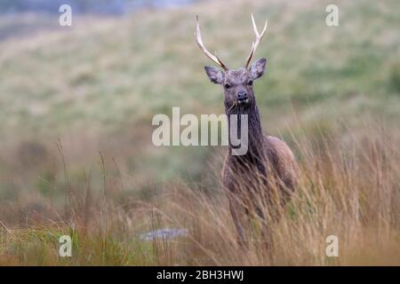 Young sika stag in the Wicklow Mountains National Park in Ireland on a drizzling autumn day - Stock Photo
