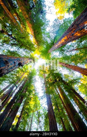 Looking up in a forest of redwood trees for a different perspective