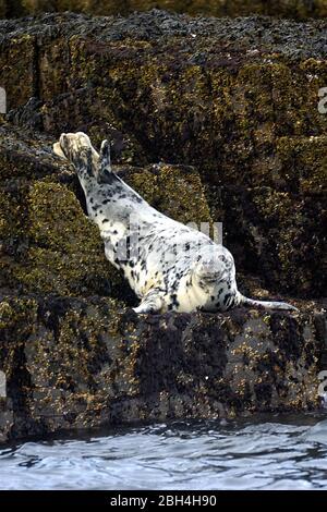 Grey Seal, 'Halichoerus grypus', Warming in the Sun, Isle of May, Scotland - Stock Photo