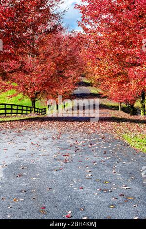 Entrance driveway street gravel road during red autumn maple trees in rural countryside in northern Virginia with trees lining path fence and vibrant - Stock Photo