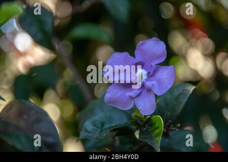 Brunfelsia pauciflora or 'Yesterday, Today and Tomorrow' flower that is endemic to Brazil of the Solanaceae family or the nightshades. - Stock Photo