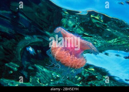 Crowned Jellyfish (Cephea cephea), Sulawesi, Indonesia, Asia - Stock Photo