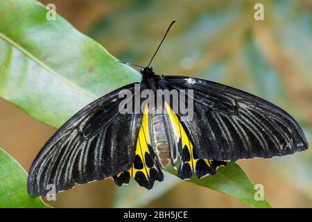 Common Birdwing - Troides helena, beautiful large yellow and black butterfly from Southeast Asian meadows and woodlands, Malaysia. - Stock Photo