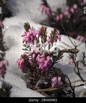 Purple heather growing through snow with closed flowers close up.