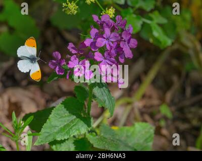 Orange-tip butterfly Anthocharis cardamines in flight April Norfolk - Stock Photo
