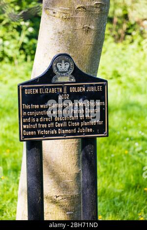 Walnut tree planted in recognition of Queen Elizabeth II Golden Jubilee 2002, Great Gonerby, Grantham, Lincolnshire, England. The tree is a direct des - Stock Photo