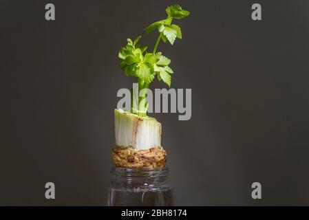 London, UK.  24 April 2020.  Celery stalks (Apium graveolens) grow from a discarded end suspended in water.  During the coronavirus pandemic lockdown, the public is reported to be at home connecting more with nature, noticing more garden wildlife and enjoying more cooking from scratch.  Credit: Stephen Chung / Alamy Live News - Stock Photo