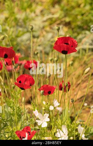 Papaver commutatum Ladybird red poppies and white perennial geraniums in an english garden - Stock Photo