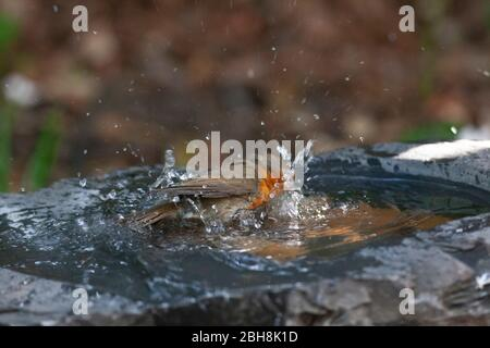 London, UK, 24 April 2020: a robin washes in a slate birdbath in a garden in Clapham. Anna Watson/Alamy Live News - Stock Photo