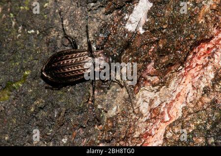 Ground beetle, Carabus granulatus, on deadwood, Bavaria, Germany - Stock Photo