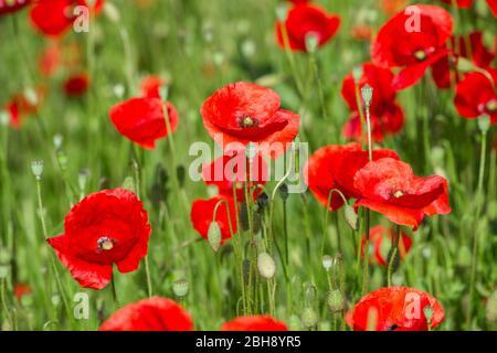 Deutschland, Baden-Württemberg, Klatschmohn, auch Mohnblume oder Klatschrose genannt - Stock Photo