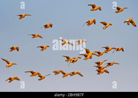 Burchell's sandgrouses (Pterocles burchelli) in flight, Kgalagadi Transfrontier Park, South Africa - Stock Photo