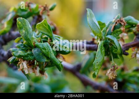 Plum Branch With Wrinkled Leaves Affected by Disease - Stock Photo
