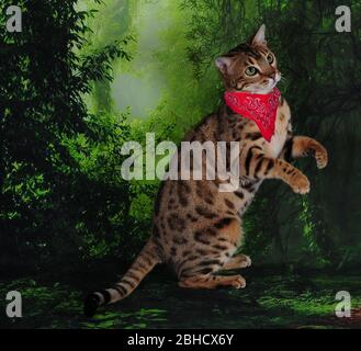 Bengal cat bandana on green forest jungle background in show
