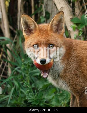 A wild Red Fox (Vulpes vulpes) carries off an apple from a Warwickshire garden - Stock Photo