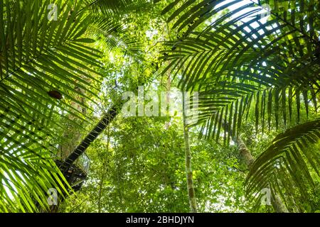 (Selective focus) Stunning view of some tropical trees with beautiful green crowns inside the tropical rainforest of the Taman Negara National Park. - Stock Photo