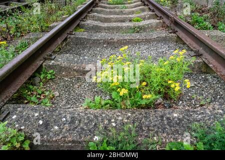 Oxford Ragwort Senecio squalidus is a common coloniser of railway tracks and sidings throughout the UK - Stock Photo