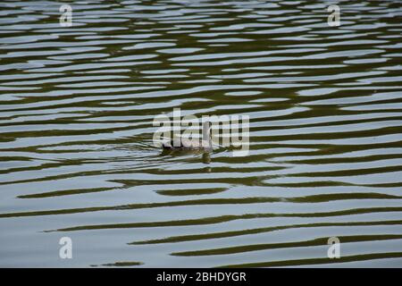 The duck swims slowly over the surface of the water - Stock Photo