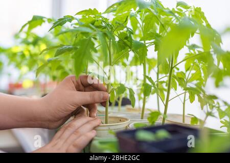 Side view of the hands of a young man carefully holding a tomato seedlings in his hand. Gardening concept. - Stock Photo