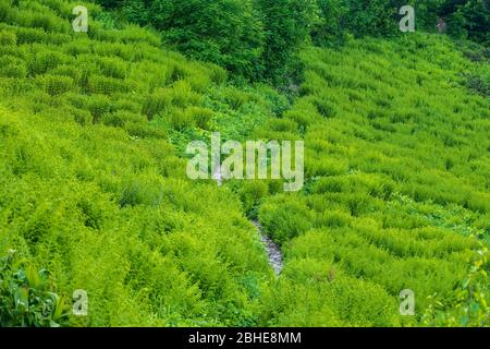 Glade on the mountainside overgrown with fern. The trail on the side of the mountain goes through a clearing overgrown with green fern. Alpine vegetat