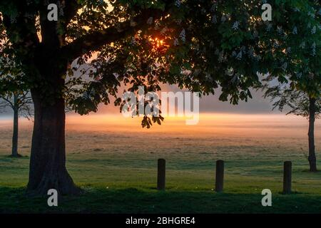 UK Weather, Northampton, 26th April 2020.  the sun rising over Abington Park  glowing through a Horsechestnut tree with a light ground mist being lit up by the suns rays. Credit: Keith J Smith/Alamy Live News - Stock Photo