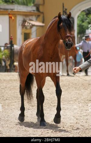 Full length portrait of a brown Spanish horse in a morphological competition - Stock Photo