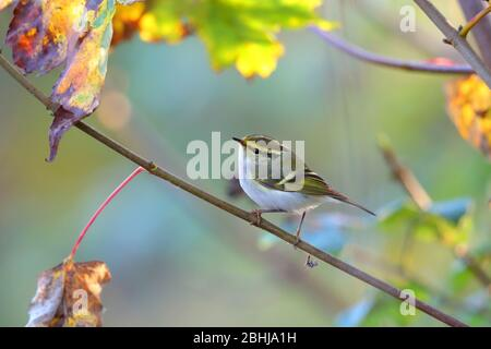 A Pallas's Leaf Warbler or Pallas's Warbler (Phylloscopus proregulus) on the coast of Essex in November - Stock Photo
