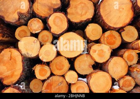 Log pile of freshly felled common spruce trees (Picea abies) with clearly visible tree rings, Trøndelag, Norway - Stock Photo