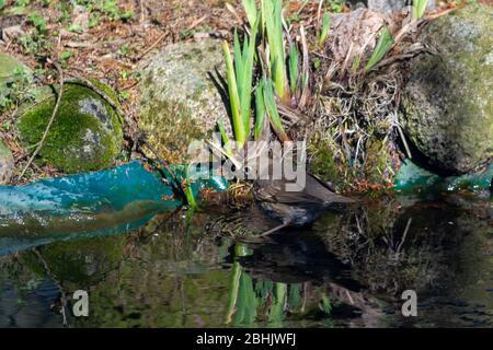 Thrush singer, singer - a species of medium-sized bird from the thrush family, inhabiting Eurasia. - Stock Photo