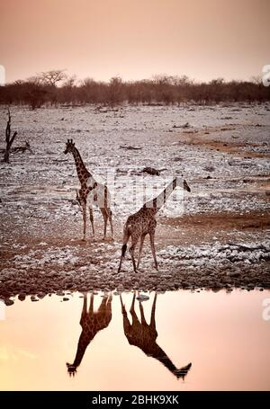 Two giraffes at the waterhole in Okaukuejo in the Etosha National Park while sunset.