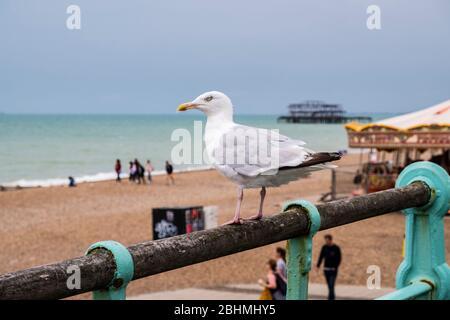 Herring Gull, Larus argentatus, Brighton, East Sussex, England, GB, UK - Stock Photo