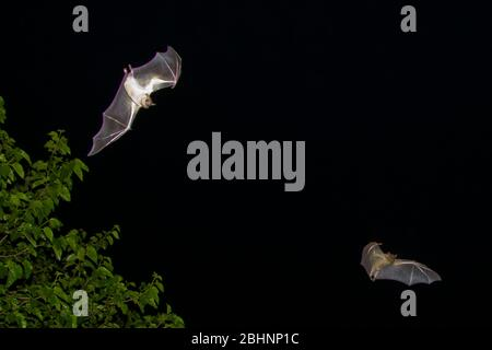 Egyptian Fruit Bats (Rousettus aegyptiacus) in flight at night. Photographed in the Mediterranean  region, Israel. The Egyptian rousette, or Egyptian - Stock Photo