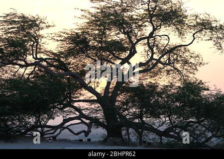 Tree of Life (species Prosopsis cineraria) at sunset, Kingdom of Bahrain - Stock Photo