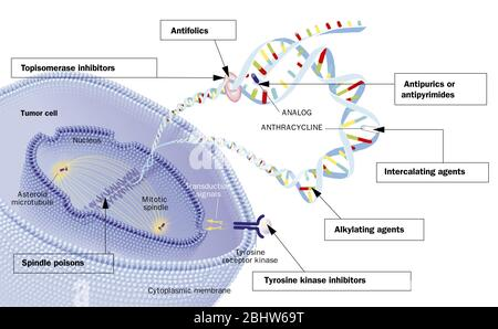 Oral chemotherapies and their action on the cell. A tumor cell is seen in section. Cytoplasmic membrane with a tyrosine kinase receptor on his right. - Stock Photo