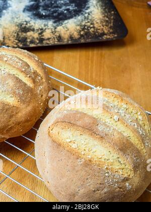 Freshly baked loaves of oat bread made with white bread flour and oat flour topped with rolled oats on a wire cooling rack - Stock Photo