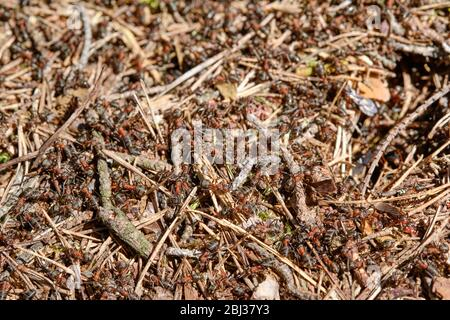 Closeup of an anthill in the forest with many red wood ants crawling on it. Seen on a sunny springtime day in the forest in Bavaria, Germany