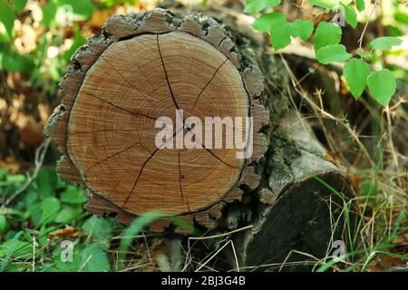 Annual rings of a tree trunk in the forest