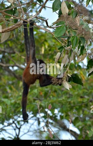 Spider Mokey in Corcovado National Park - Stock Photo
