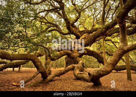 Charleston, South Carolina, USA – October 23, 2018:  Angel Oak is a Southern live oak located in Angel Oak Park on Johns Island near Charleston, South