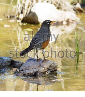 American Robin, Turdus migratorius, standing on rock in creek in Arizona USA - Stock Photo