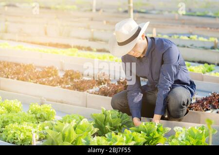 Young asian man farmer checking fresh organic vegetable kitchen garden in the farm, produce and cultivation green cos lettuce for harvest agriculture - Stock Photo