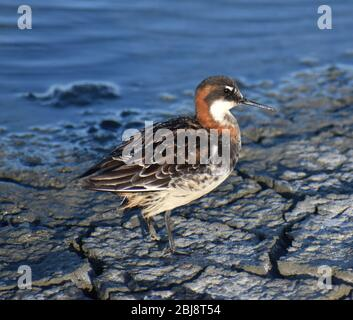 A red-necked phalarope (Phalaropus lobatus) in breeding plumage, on the cracked mud shore of an old salt pond near Moss Landing, California. - Stock Photo