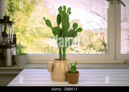 Big and small cactus in flower pot. Opuntia ficus-indica, prickly pear or Indian fig. Two cacti house plants on the table by the window. - Stock Photo