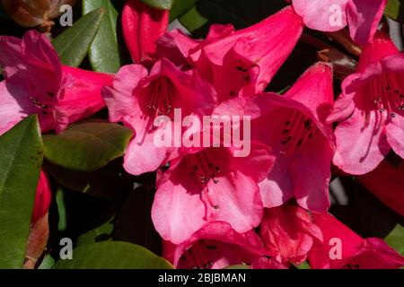 Rhododendron 'Winsome (Humming Bird x griersonianum), flowers - Stock Photo
